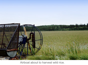 Airboat about to harvest wild rice