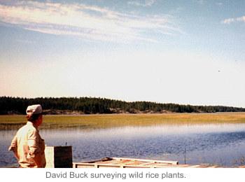 David Buck surveying wild rice plants