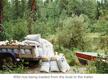 Wild rice being loaded from the boat to the trailer